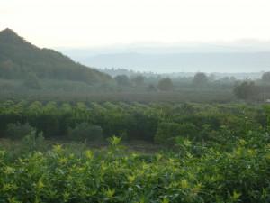 Gli agrumi della Piana: dagli affari allo sfruttamento